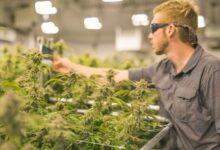 Photo of L'industrie du pot sur une ruée vers l'or pour la main-d'œuvre qualifiée