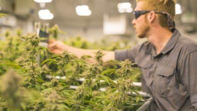 Photo of Les listes de propriétés commerciales de cannabis sont mises en ligne en Colombie-Britannique pour la première fois