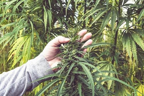 Photo of Le cannabis d'Edmonton en passe de devenir une centrale électrique de 100 millions de dollars