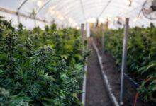 Photo of La pénurie de cannabis aggrave les inquiétudes de l'industrie
