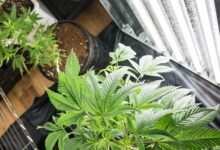 Photo of La demande d'installations de culture de cannabis devient vertigineuse